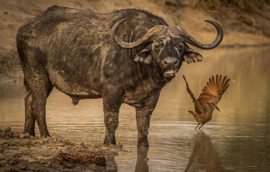 Buffalo-&-Hammerkop