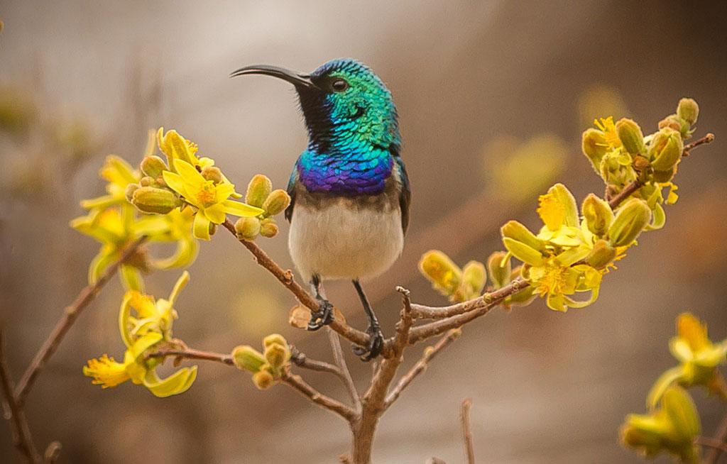 Collarded-Sunbird