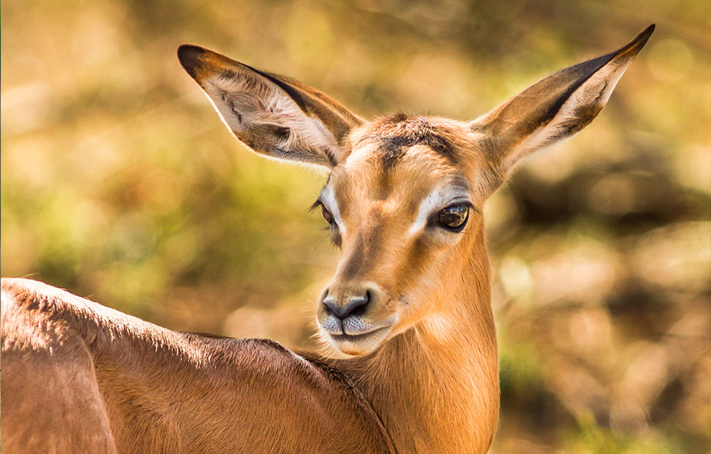 Impala-lamb