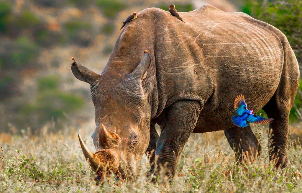 Rhino-&-starling
