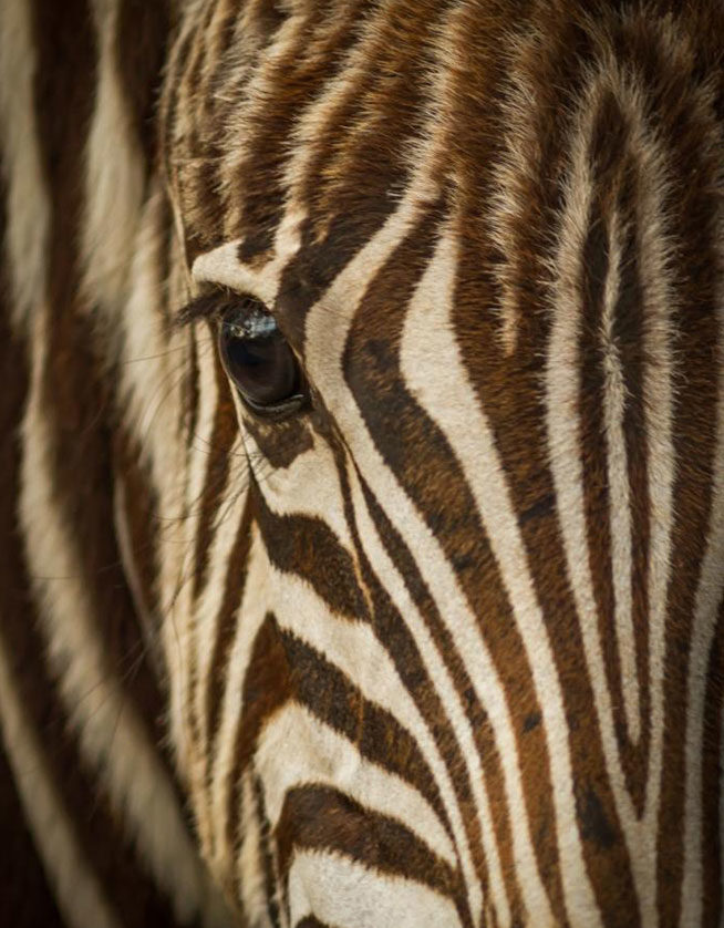 Zebra-close-up