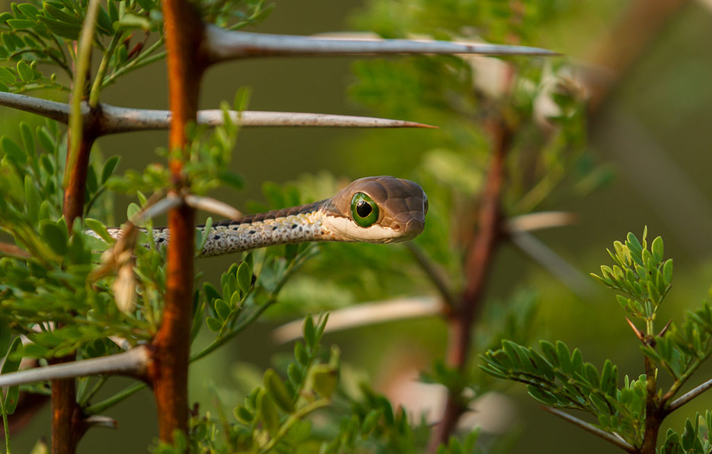 spotted-snake-gallerhy